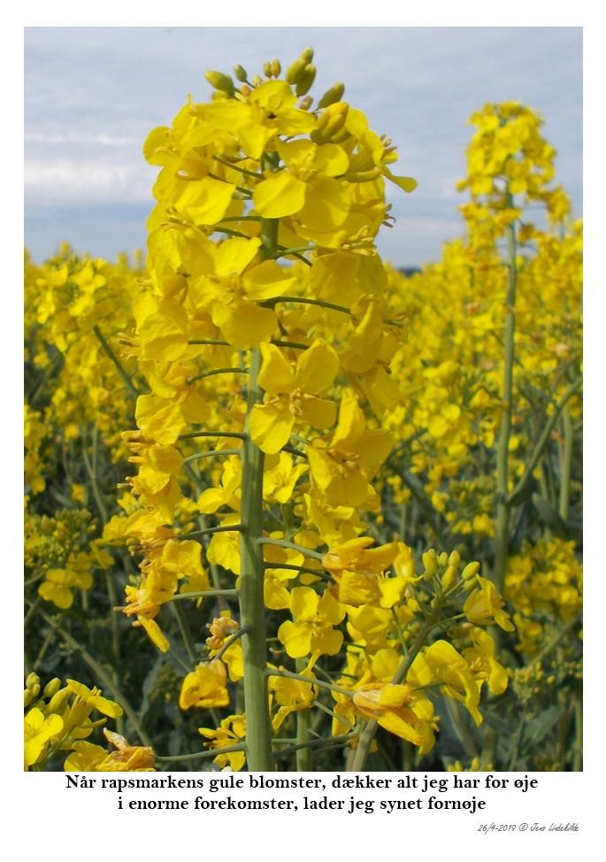 Når-rapsmarkens-gule-blomster